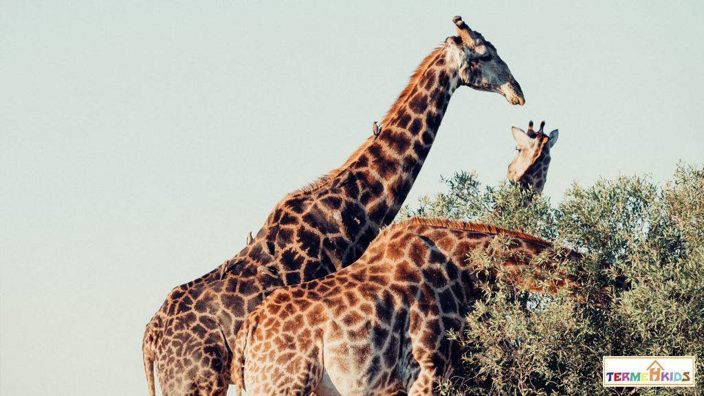 Familiarity of children with giraffes Termeh Kids 2 1024x576 - آشنایی کودکان با زرافهها